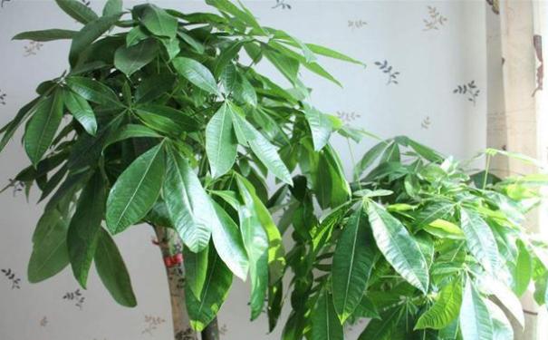家里摆上这些家居旺宅的植物